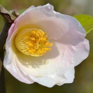 春の椿 2020(6)~「越の香り」