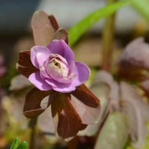 バイカカラマツの花 2020(2)~桃色八重咲種