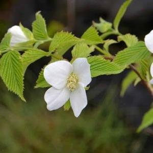 シロヤマブキの花 2020