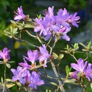鉢植えのツツジ 2020(5)~「紫光」