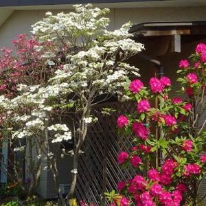 庭のハナミズキ 2020(1)~白花