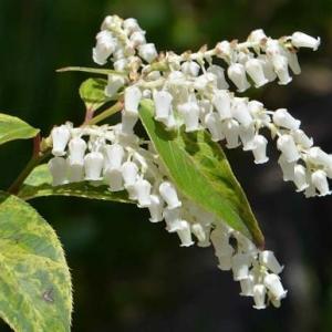 西洋イワナンテンの花