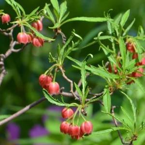 庭のツツジ 2020 ~その8「柳葉ドウダン」