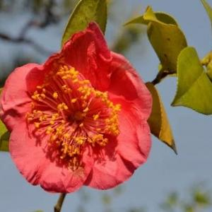 春の椿 2020(16)~肥後椿の赤と白