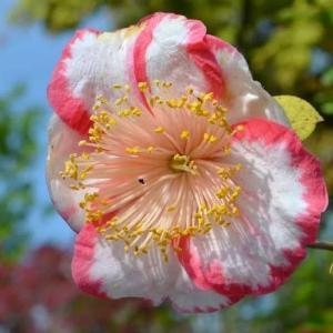 春の椿 2020(17)~肥後椿「王冠」