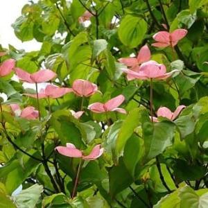 庭のヤマボウシ(1)~「サトミ」