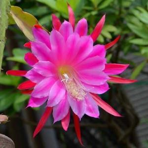 1輪だけ咲いたクジャクサボテンの花