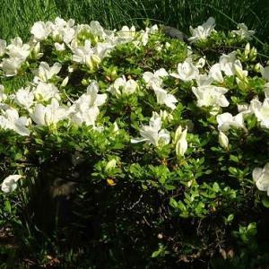 庭のサツキ(2)~白花種