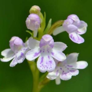 アワチドリの花~自生種と交配種