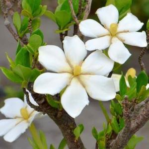 姫クチナシの花 2020