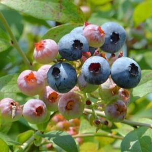 ブルーベリーの栽培(2)~実成りと収獲
