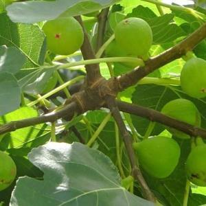 イチジクの収穫(2)~秋果