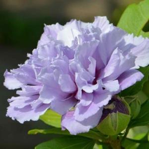 ムクゲの花 2020(1)~紫玉