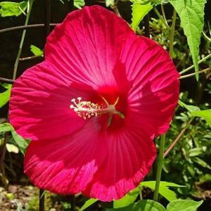タイタンビカスの花(2)~「ネオン」