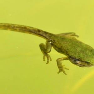 アマガエルの繁殖 2020(3)~カエルに変態