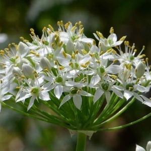 ニラの花に集まるチョウ(1)~キタテハ