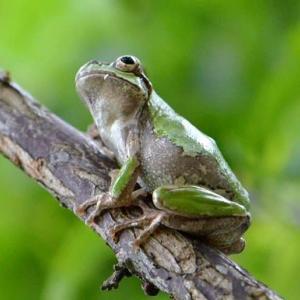 アマガエルの繁殖 2020(4)~樹上生活