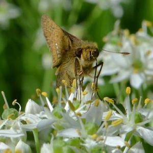 ニラの花に集まるチョウ(5)~イチモンジセセリ