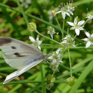 ニラの花に集まるチョウ(6)~モンシロチョウとヤマトシジミ