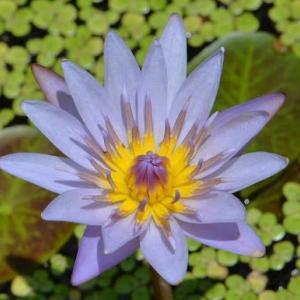 熱帯スイレンの花 2020(1)~ティナ
