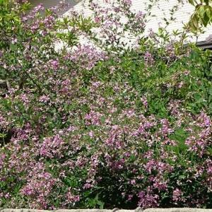 萩の花 2020(2)~庭植えの萩