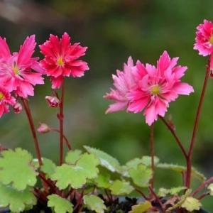 鉢植え大文字草の花(1)~「華扇」