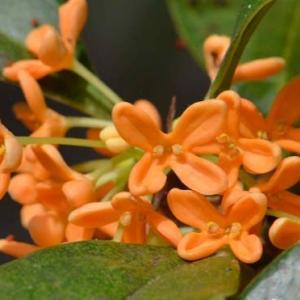 キンモクセイの花 2020
