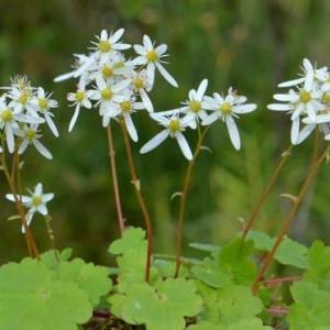 鉢植え大文字草の花(2)~白花3鉢