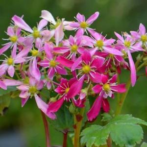 鉢植え大文字草の花(3)~「美里」