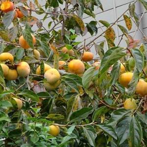 渋柿「八珍」(1)~開花から実成り