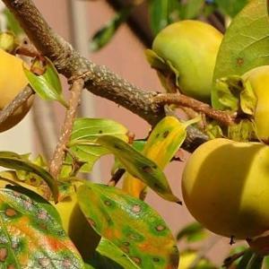 甘柿の栽培~「富有柿」