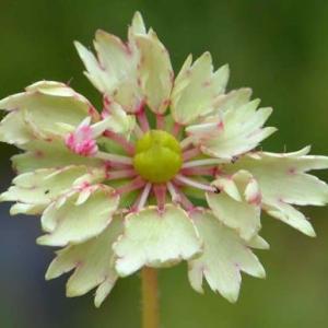鉢植え大文字草の花(6)~「黄金の舞」