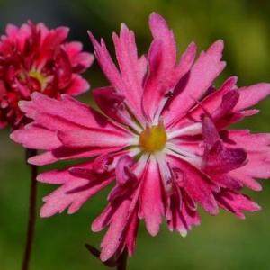 鉢植え大文字草の花(8)~「黒駒」