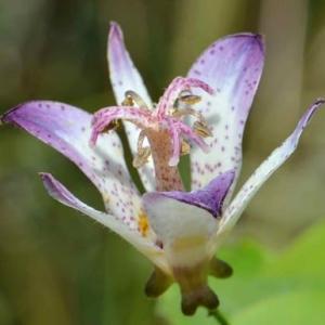 鉢植ホトトギスの花 2020(7)~静御前