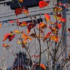 庭の紅黄葉 2020(1)~ヤマボウシ「サトミ」