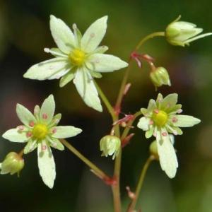 鉢植え大文字草の花(10)~「緑宝」
