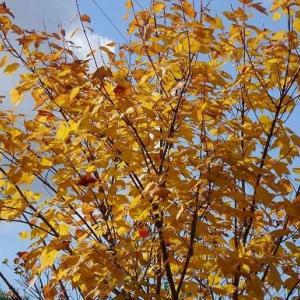 庭の紅黄葉 2020(2)~ハナノキ
