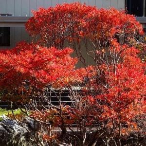 庭の紅黄葉 2020(3)~ドウダンツツジ
