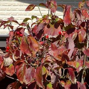 ハナミズキの果実(2)~紅花種