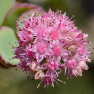ミセバヤの花 2020