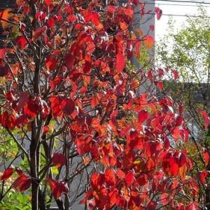 庭の紅黄葉 2020(4)~ハナミズキ