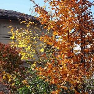 庭の紅黄葉 2020(5)~ナツツバキ