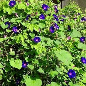 菜園で咲いた西洋朝顔4種