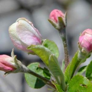 収穫出来なかったリンゴ 2020(1)~開花から緑実へ