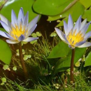 熱帯スイレンの花 2020(2)~ドウベン