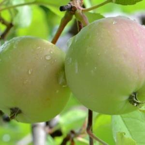 収穫出来なかったリンゴ 2020(2)~9月に腐れて落果