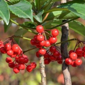 正月の縁起木(1)~「万両」の基本種