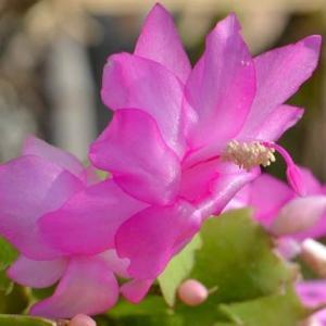 シャコバサボテンの花 (3)~「ニコル」