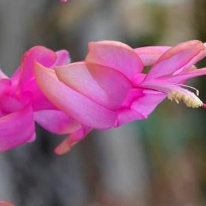 シャコバサボテンの花 (5)~「ムーンライト」