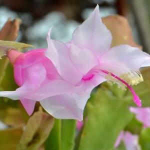 シャコバサボテンの花 (6)~「トーア ブリッタ」